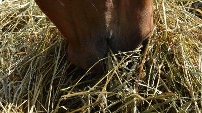 Mule og grovfor