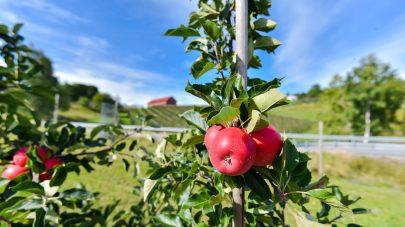 NLR Ostafjells Frukt Epler 0870 Gard Sigmund Aasdalen