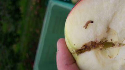 Larve av eplevikler