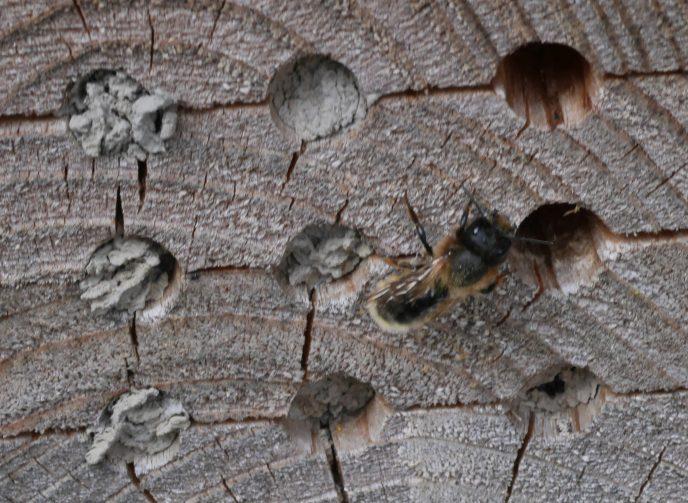 Hornmurerbien murer igjen bolcellene med sand og jord. Foto: John Ingar Øverland